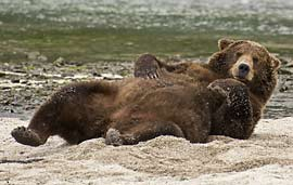 bear lounging